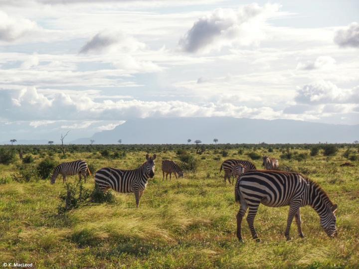 Zebras in Tsavo East